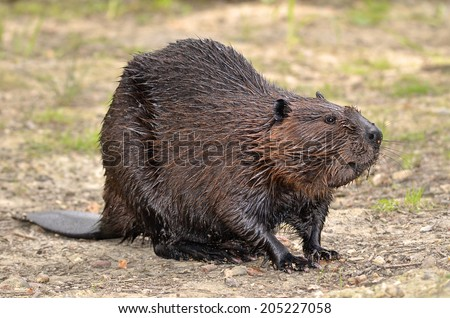 North American Beaver (Castor canadensis) on ground - stock photo