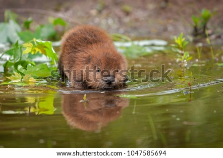 North American Beaver (Castor canadensis) Wades Into Water - captive animal