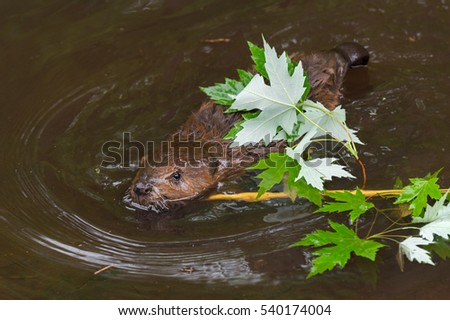 North American Beaver Kit (Castor canadensis) Swims With Branch - captive animal