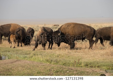 North American Bison in Grand Teton National Park at the Mormon Barns - stock photo
