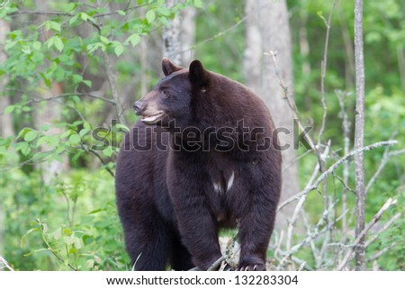 North American Black Bear