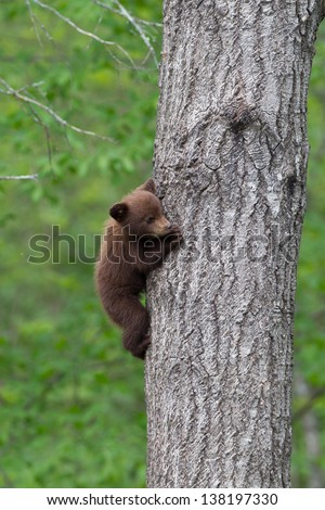 North American Black Bear Cub on tree