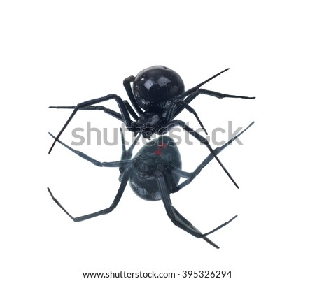 North American black widows spider  and its reflection. Isolated on white background - stock photo