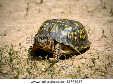 North American box turtle roaming on dry cracked ground. - stock photo