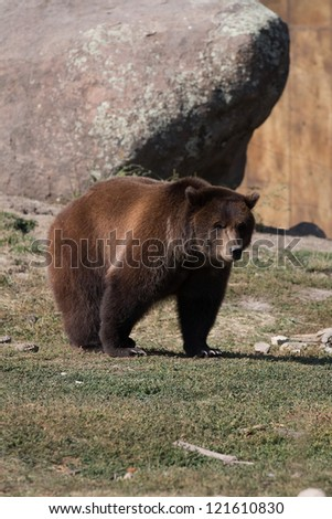 North American Brown Bear (Grizzly)