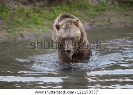 North American Brown Bear in cold mountain stream