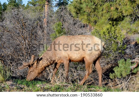North American bull Elk grazing on the fresh green grass in late spring, at the Grand Canyon National Park, Arizona, USA - stock photo