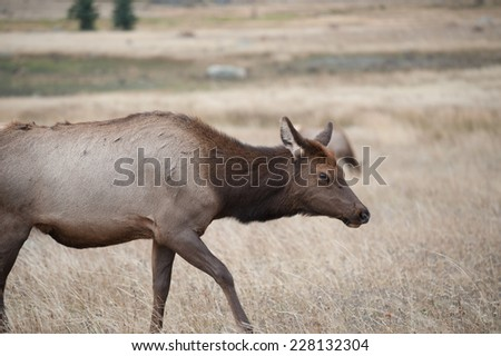 North American elk cow in an open meadow in Rocky Mountain National Park, Colorado