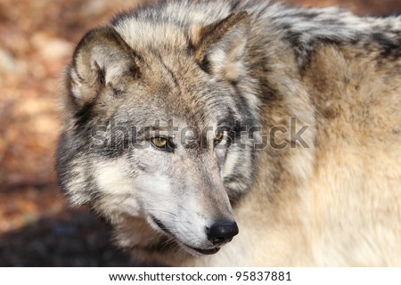 North American gray Wolf - stock photo
