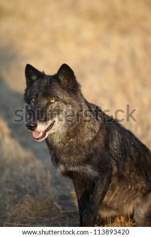 North American Grey Wolf - stock photo
