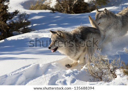 North American Grey Wolves in winter scene