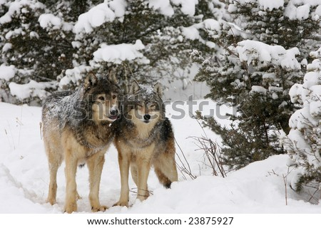 North American Grey Wolves Snow Storm - stock photo