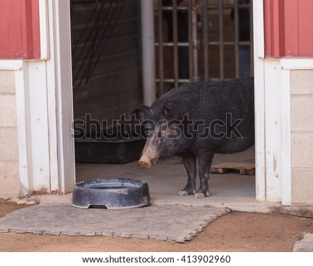 North American Guinea hog emerges from a barn on a farm in Southern California. Considered a rare breed, Sus scrofa domesticus has fuzzy ears and a long snout. - stock photo