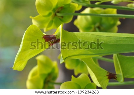 North American pitcher plants in a garden - stock photo
