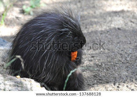 North American Porcupine - stock photo