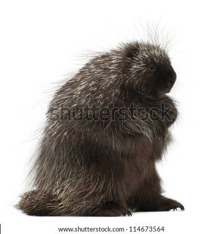 North American Porcupine, Erethizon dorsatum, also known as Canadian Porcupine or Common Porcupine against white background - stock photo