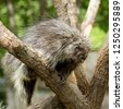 north american porcupine ...