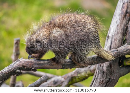 North American porcupine (Erethizon dorsatum) on a branch - stock photo