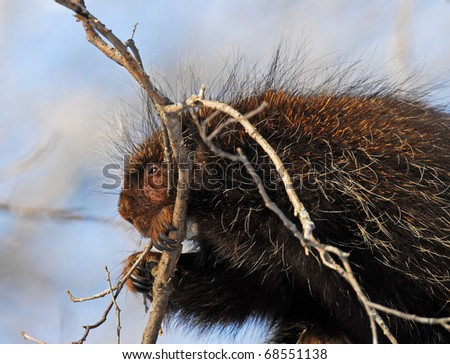 North American porcupine munching on branch of tree