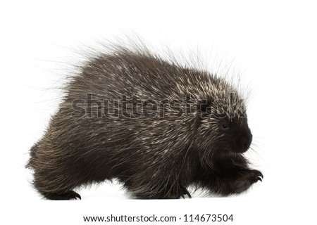 North American Porcupine walking, Erethizon dorsatum, also known as Canadian Porcupine or Common Porcupine against white background