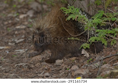 North American Porcupine walking in the leaf litter on the forest floor. - stock photo