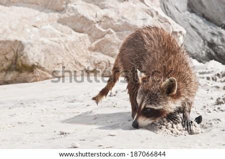 North American Raccoon - stock photo