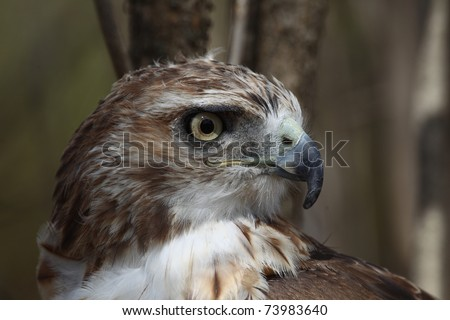 North American Red-tailed Hawk