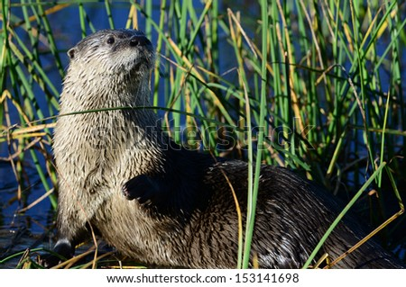 North American River Otter - stock photo