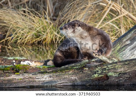 North American River Otter sunning itself on a warm winter's day in the Pacific Northwest.