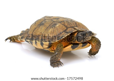 North American Wood Turtle (Glyptemys insculpta) on white background.