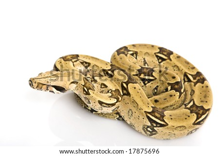 North Brazilian Boa (B. c. constrictor) on white background. - stock photo