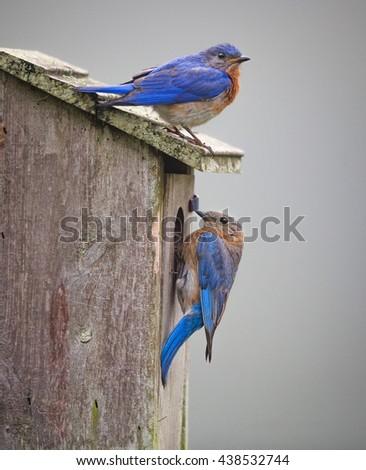 North Carolina bluebird pair on birdhouse - stock photo