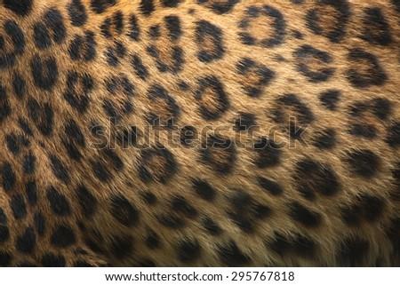 North-Chinese leopard (Panthera pardus japonensis) fur texture. Wildlife animal.  - stock photo