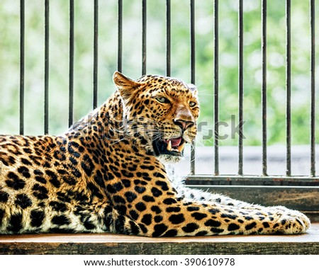 North Chinese leopard resting in a ZOO cage