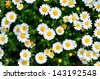 North Pole. (Leucanthemum paludosum) (Flower-beds in the spring) - stock photo