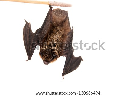 Northern bat (Eptesicus nilssonii), isolated on white. - stock photo