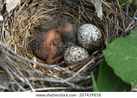 Northern Cardinal Baby next to eggs in a nest - stock photo