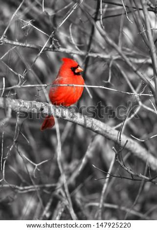 Northern cardinal bird on the branch - stock photo