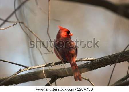Northern Cardinal – bird-sign of state Illinois, southern illinois. - stock photo