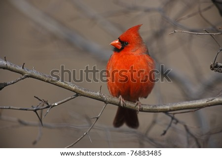 Northern Cardinal (Cardinalis cardinalis cardinalis), Common subspecies, male in a tree in New York City's Central Park. - stock photo