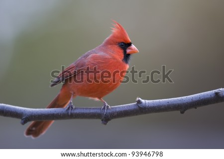 Northern Cardinal (Cardinalis cardinalis cardinalis), Common subspecies, male in perfect bright red plumage on branch in Winter.