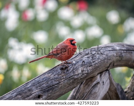 Northern cardinal ,Cardinalis cardinalis, is a North American bird in the genus Cardinalis; it is also known colloquially as the redbird or common cardinal.
