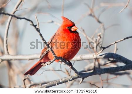 Northern Cardinal, Cardinalis cardinalis, male, Redbird, male - stock photo