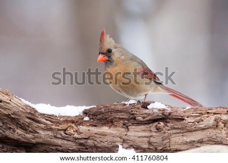 Northern Cardinal (Cardinalis cardinalis) on a Natural Rotted Wood Perch - stock photo