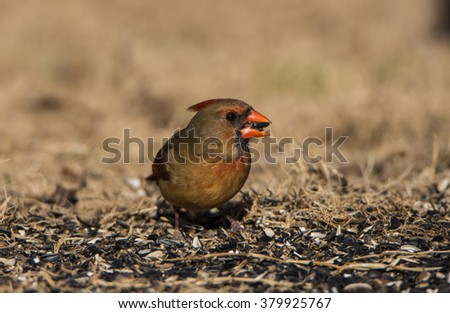 Northern Cardinal / female