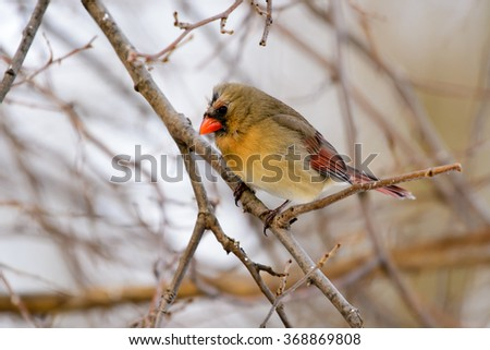 NORTHERN CARDINAL FEMALE PERCHED IN A TREE
