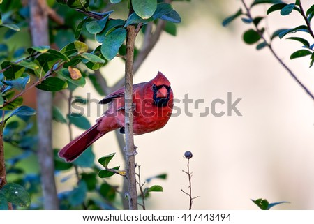 Northern Cardinal hangs on a branch - stock photo
