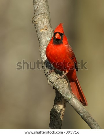 northern cardinal in tree - stock photo
