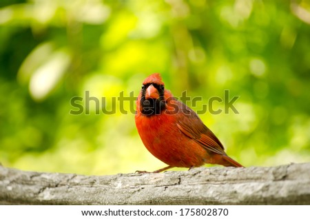 Northern Cardinal male The bright red male northern cardinal, with its conspicuous crest, is one of the most recognizable birds in North America. - stock photo