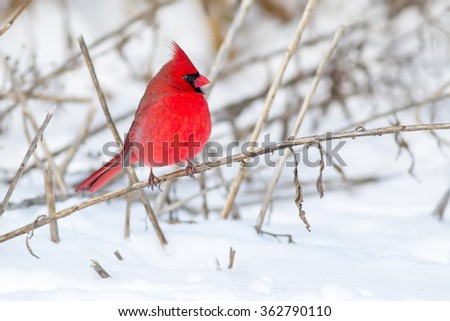 Northern Cardinal on branch in snow - stock photo